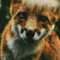 Неизвестный Fox